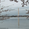 Washington Monument Cherry Blossom Festival
