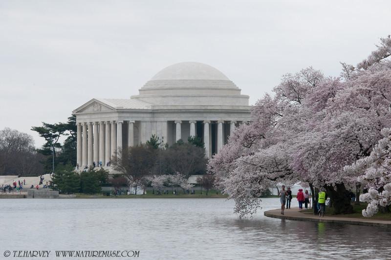 Jefferson Memorial during Cherry Blossom Festival.
