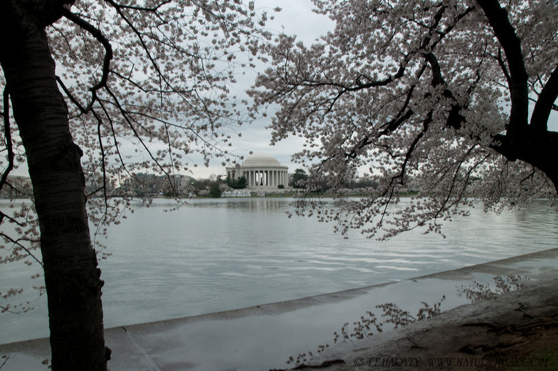 Jefferson Memorial during Cherry Blossom Festival.