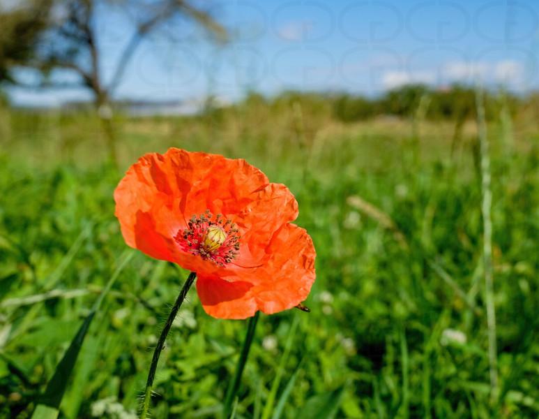 Last Poppy of the Season