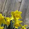 04-04-15 Dayton 11 daffodils