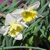 04-04-15 Dayton 08 daffodils