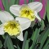 04-04-15 Dayton 07 daffodils