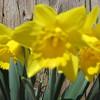 04-04-15 Dayton 13 daffodils