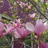 04-18-15 Dayton 06 magnolias