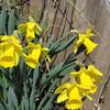 04-04-15 Dayton 10 daffodils