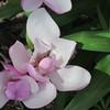 04-18-15 Dayton 05 magnolias
