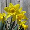 04-04-15 Dayton 14 daffodils
