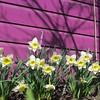 04-04-15 Dayton 03 daffodils