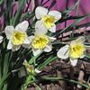 04-04-15 Dayton 04 daffodils