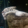 sleeping white tiger
