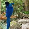 blue maccaw