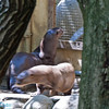 Giant Asian Otters