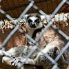 not partiuclary hapy lemur