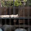 sleeping snow lepard
