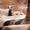 more mountain goats