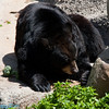 black bear with bear chow