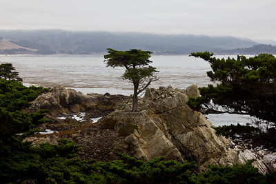 Monterey, Lone Tree