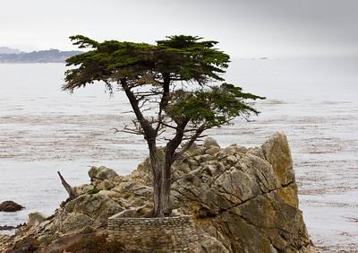 Monterey, Lone Tree  248