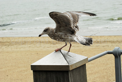 A sea-gull along the beach in Ostend (Oostende), Belgium. There are thousands of them flying around there.