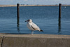 <center>Herring Gull - Third Winter   <br>Plymouth Digital Photography Meetup Group<br>01 January 2014<br>Plymouth, Massachusetts</center>