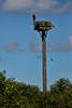 <center>Osprey  <br>Point Judith - 04 September 2013<br>Narragansett, Rhode Island</center>