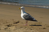 San Francisco - California Gull on the beach in front of Ghirardelli Square