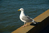 San Francisco - The Presidio, California Gull