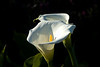 San Francisco - The Presidio, Calla Lily