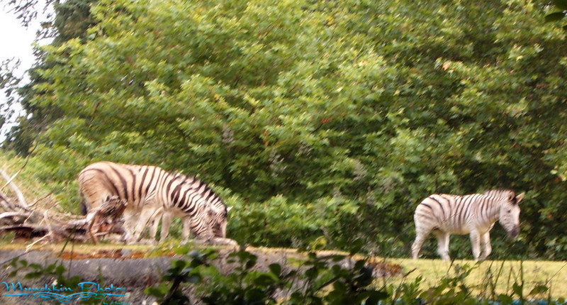 Zebras at Woodland Park Zoo
