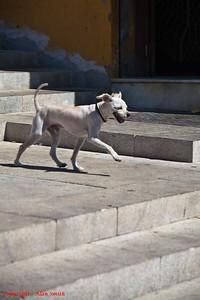 Strident Dog