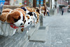 The Great Bernese Mountain Dogs