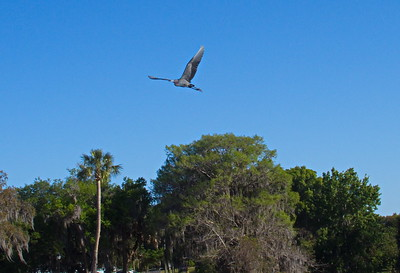 Great Blue Heron over Lake Henderson