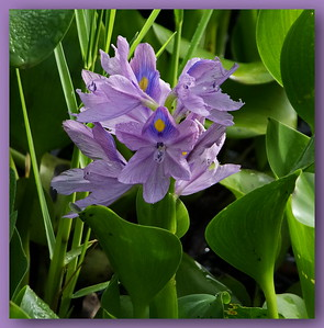 Water Hyacinth Bloom, Cooter Pond, 2017, F900