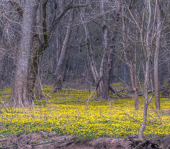 Marsh Marigolds along Beargrass Creek in Cherokee Park