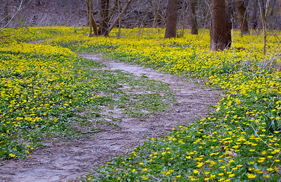 Fig Buttercups along Beargrass Creek in Cherokee Park