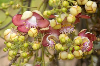 Cannonball Tree (Couroupita Guianensis), Trang
