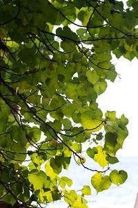 Sacred Fig (Bodhi Tree) Koh Lao Liang, Trang