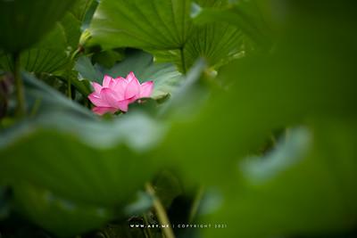 Lotus at Shinobazu Pond