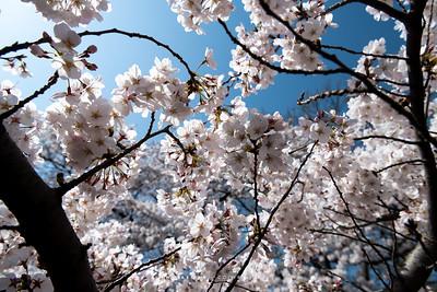 Sakura at Shinjuku Gyoen National Garden