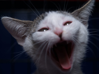 Kitten yawn.