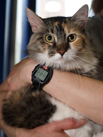 Misha, a stunning, affectionate New Orleans kitty whose person is still trying to get her life together. She's being fostered in the interim.