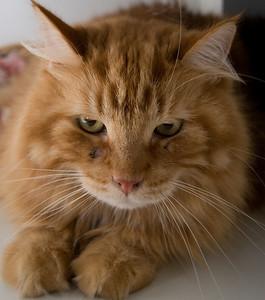 Orange. looking quite lionish.