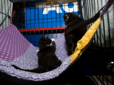 Kittens learn to share the hammock