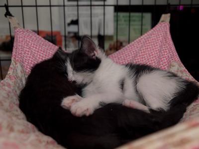 Chewy, Gummi Bear and Taffy in a three-kitten pileup