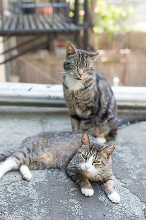 Brownstone cats. Fang and friend.