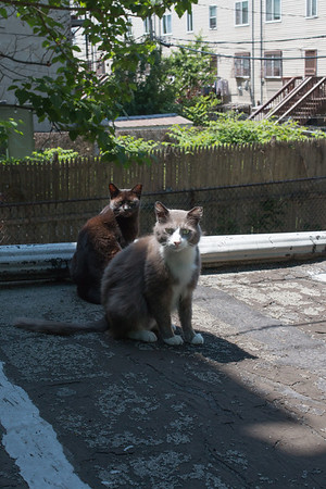 Brownstone cats