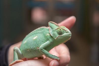 Chameleon, not cat.