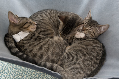 Jackson, Rose and Gertie in the typical sleeping kitten pile