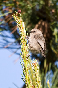 Terrible pic, I was right on top of this guy and still had to do some major cropping.  Another evidence shot for sure!  Female Bushtit